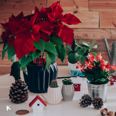 Las plantas del momento: cactus de Navidad y flor de pascua